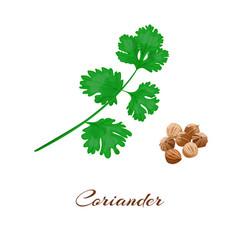 Coriander or cilantro vector