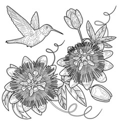 hummingbird and passiflora coloring page vector image vector image