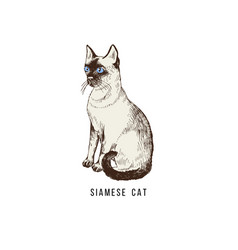 hand drawn siamese cat vector image