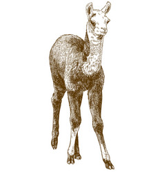 Engraving drawing of llama cub or alpaca or vector