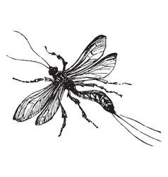 ichneumon wasp vintage vector image