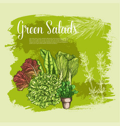 Poster of lettuce salads leafy vegetables vector