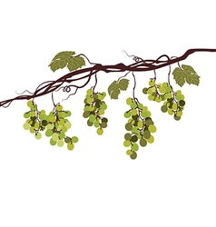 Vine with green grapes vector image vector image