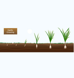 Garlic growth stages banner vector