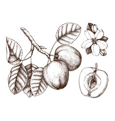 apple botanical vector image