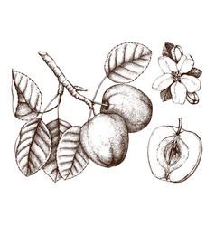 Apple botanical vector