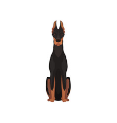 flat icon of sitting dobermann medium vector image