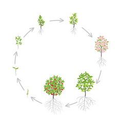 Cherry tree growth stages vector