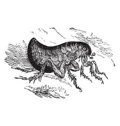 human flea vintage vector image