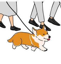corgi walk on a leash vector image