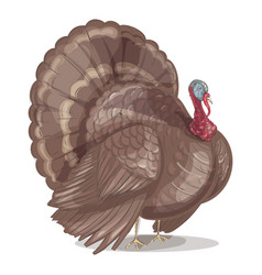 turkey with tail on white background vector image