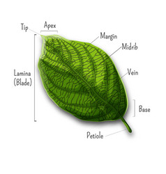basic leaf parts external structure infographics vector image