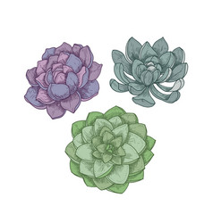 echeveria plants isolated on white background vector image