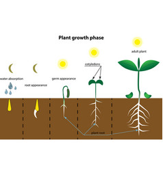 planting process infographic growth stages steps vector image