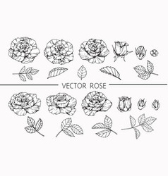Rose flower drawing vector
