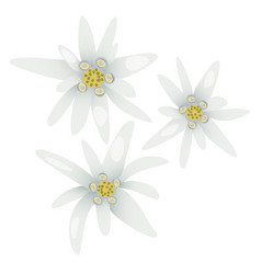 edelweiss flowers leontopodium alpinum vector image vector image
