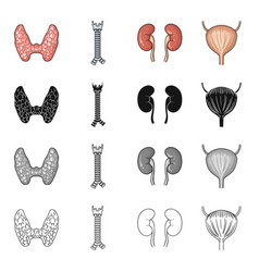 thyroid gland human spine kidney organ bladder vector image