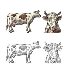 cow side and front view hand drawn in a graphic vector image