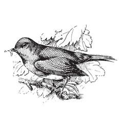 European robin vintage vector