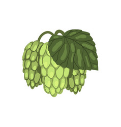 Green hop cones with leaf humulus lupulus plant vector