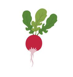 radish vegetable image vector image