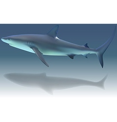 Caribbean Reef Shark vector