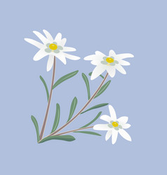 Edelweiss flowers and leaves vector