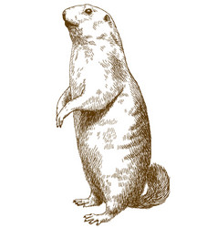 Engraving drawing of marmot vector
