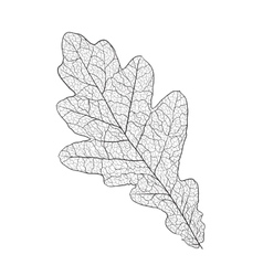 oak leaf skeleton vector image