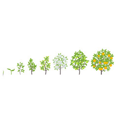 sweet oranges tree growth stages vector image