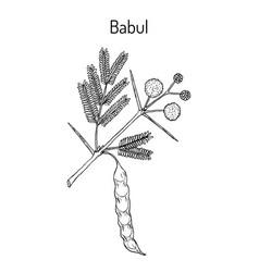 Babul vachellia nilotica or thorny acacia vector