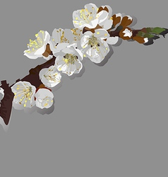 flowering apricot vector image vector image