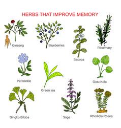 medicinal herbs that improve memory vector image