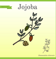 jojoba branch with fruits vector image