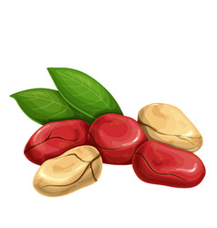 Cola nuts with leafs vector