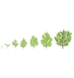 Olive tree growth stages vector