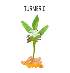 Turmeric ayurvedic herb with rhizomes isolated vector