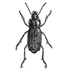harpalus aeneus vintage vector image