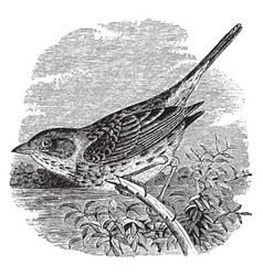Lincoln sparrow vintage vector