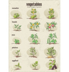 Set of vegetables with three stages of their vector image