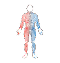 Human muscles two color vector