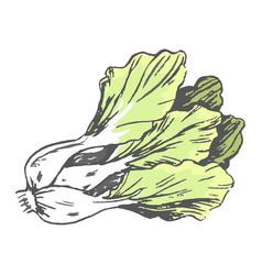 Romaine lettuce close up graphic vector
