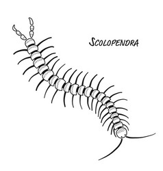 scolopendra sketch for your design vector image