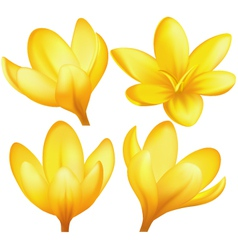 Set of yellow crocuses vector image