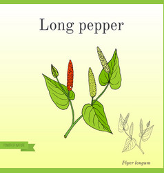 Ayurvedic plant long pepper pippali vector