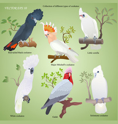 Collection of realistic cockatoo vector
