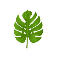 monstera branch isolated vector image
