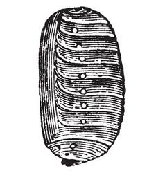 Pseudo nymph of sitaris humeralis vintage vector