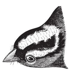 White crowned sparrow head vintage vector