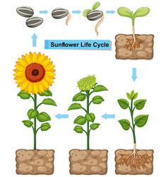 Life cycle of sunflower plant vector